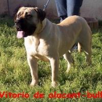 vitorio_de_alacant-bull